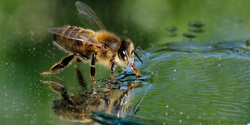 abejas, animales, agua
